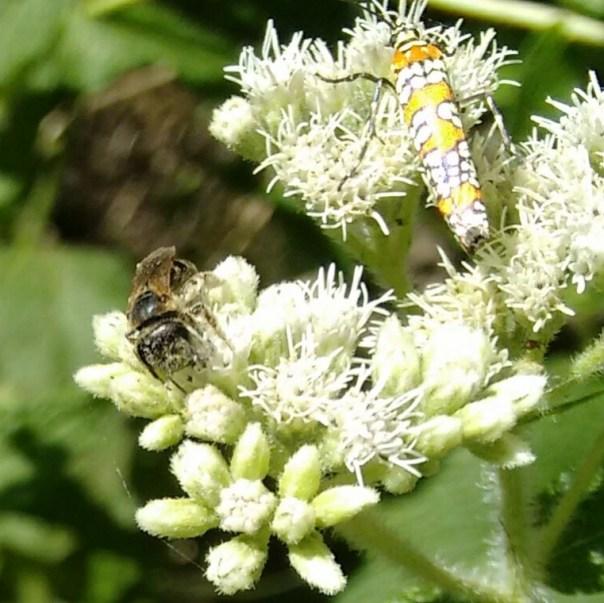 ailanthus web worm moth + mason bee