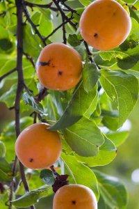 common-persimmon-tree-1