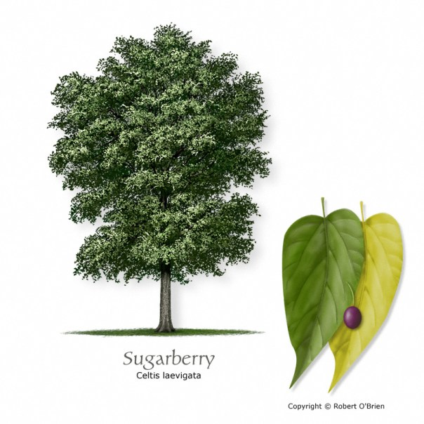 sugarberry-hackberry150
