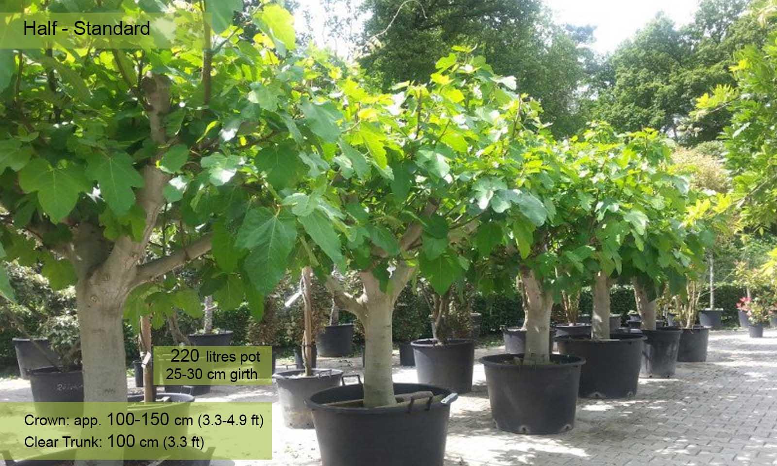 ficus carica brown turkey edible common fig tree half standard