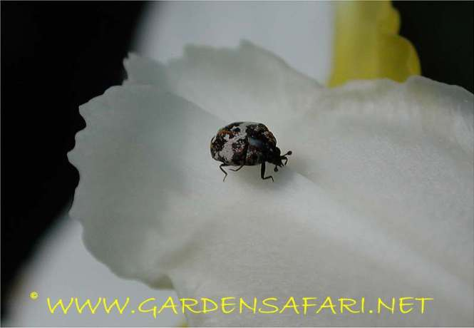 Photograph Of A Small Beetle Gardensafari Beetles And Other Insects With Many Detailed Pictures