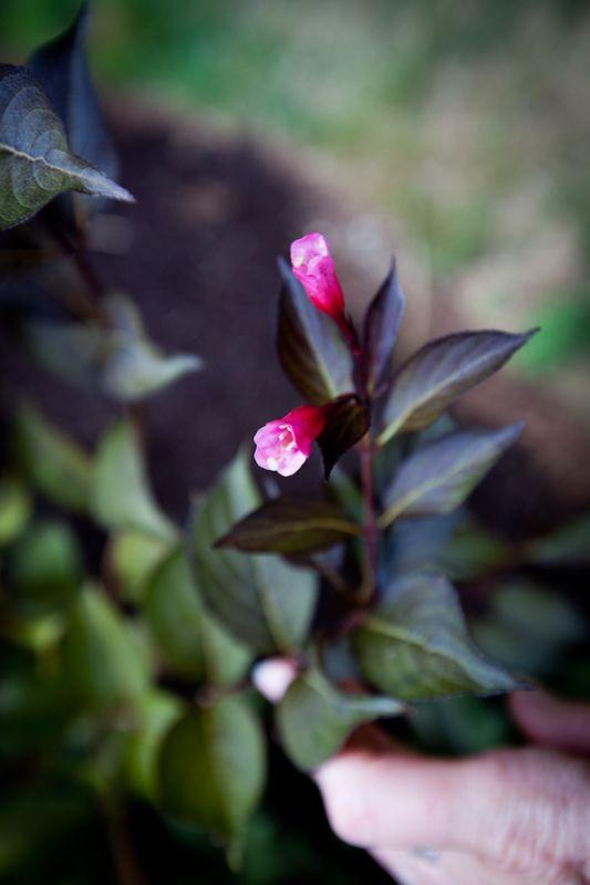 Carnation-7_web