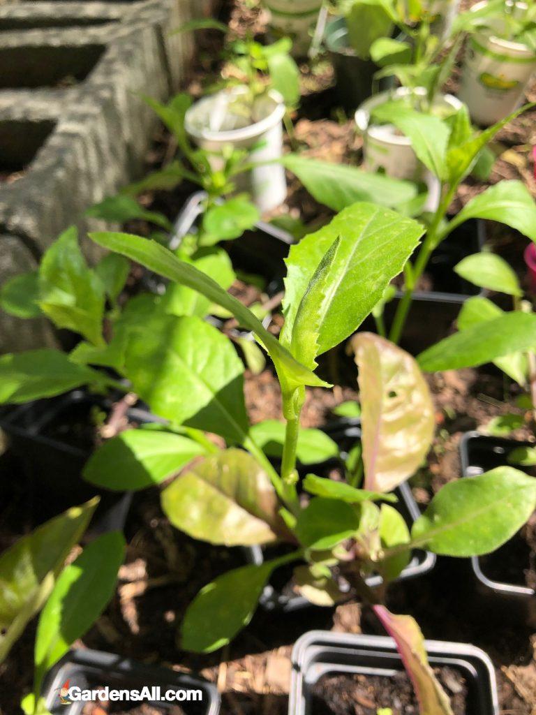 Growing Longevity Spinach Gynura Procumbens Medicinal Plants