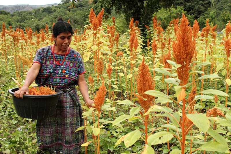 Micro-loans help women farmers grow crops like amaranth.