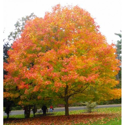 Green Mountain Sugar Maple Acer saccharum