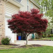 Bloodgood Japanese Maple Acer palmatum