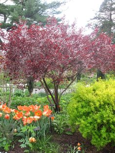 Sandcherry (tree form) Prunus x cistena Image