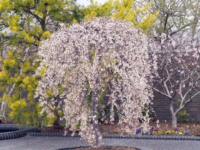Snowfountain Weeping Cherry Prunus