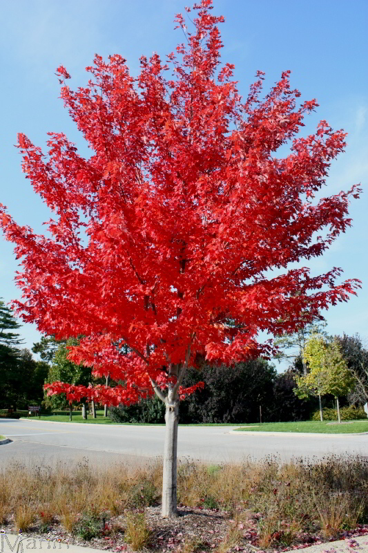 Autumn Flame Maple Acer rubrum