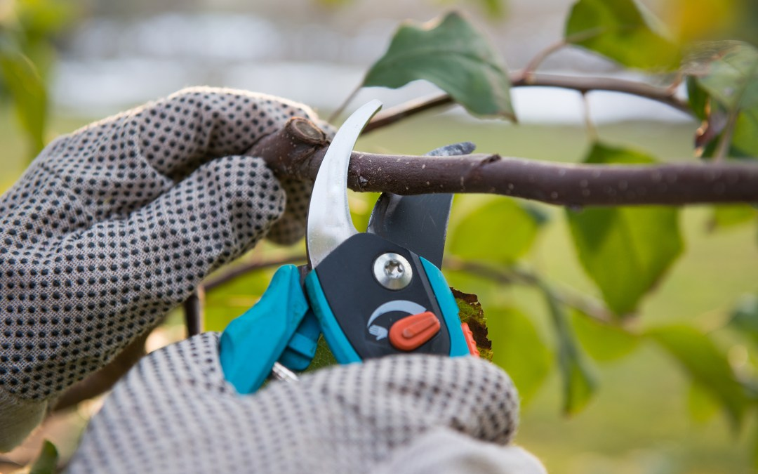 Gear up for rose pruning