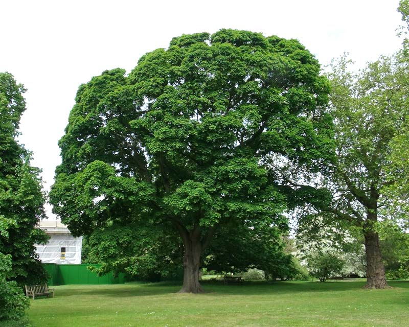 Image result for acer platanoides