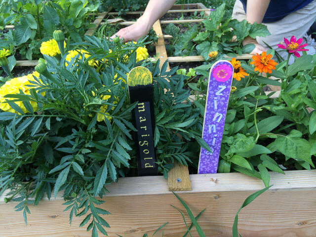 We'll know the marigolds and zinnias by their flowers and plant markers.