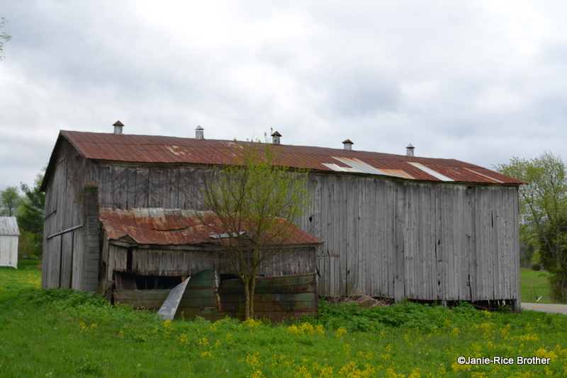 Another relic in Piqua: This tobacco barn with round ridgetop ventilators and attached stripping room.