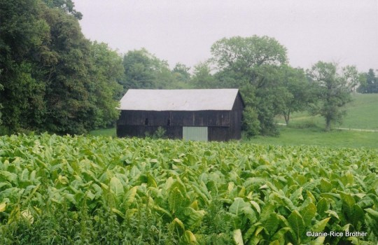 A field of tobacco, pre-buyout, in Montgomery County, Kentucky.