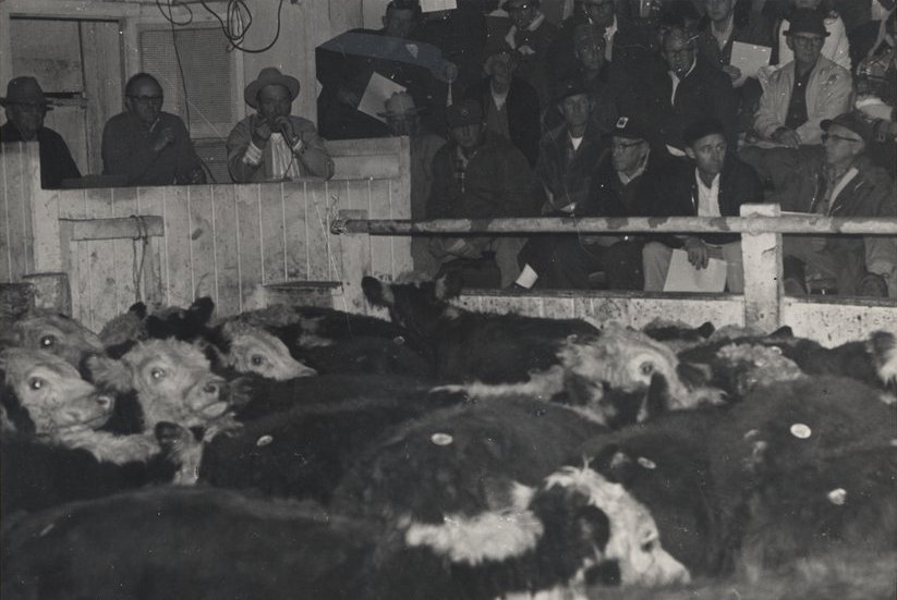 An undated photograph of the Blue Grass stockyards sale ring, probably mid-20th century. Kentucky Digital Library.