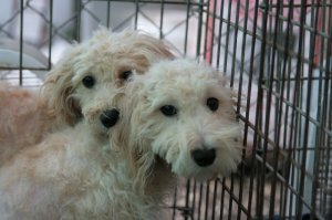 Two poodle mixes GARD rescued from a puppy mill.