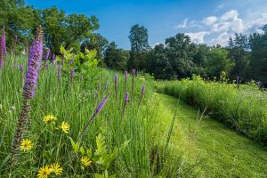 A mown path through a meadow with native grasses and wildflowers