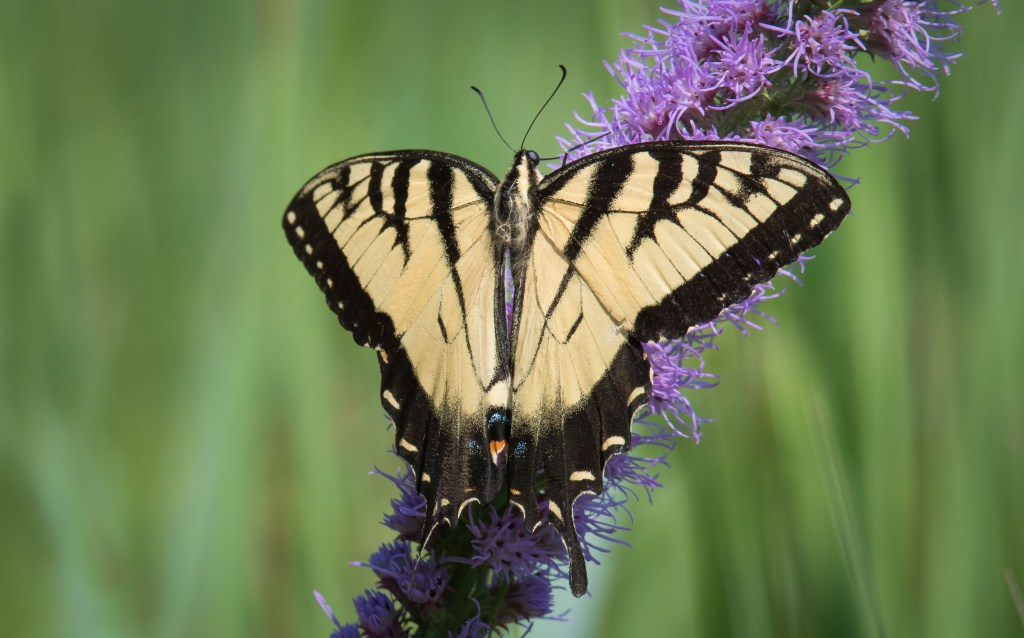 Eastern Tiger Swallowtail.