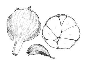 Creole Red garlic bulb