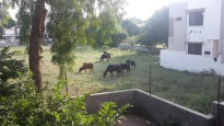 Horses behind the hotel Ganapati Palace in Dhule.
