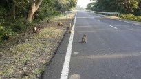 Monkeys on the roads