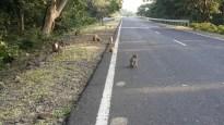 Monkeys on the roads