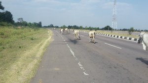 Cows on the roads