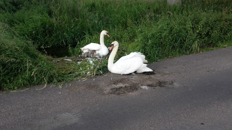 Swans and signet's
