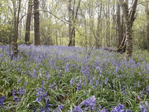 Bluebells in Selsdon nature reserve