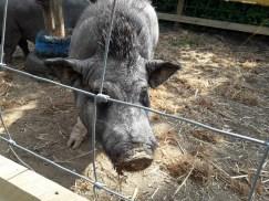 Pygmy pig
