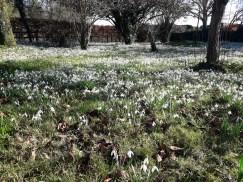 Field of Snowdrops