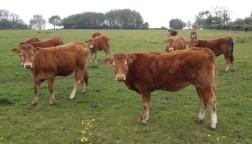 Cows field