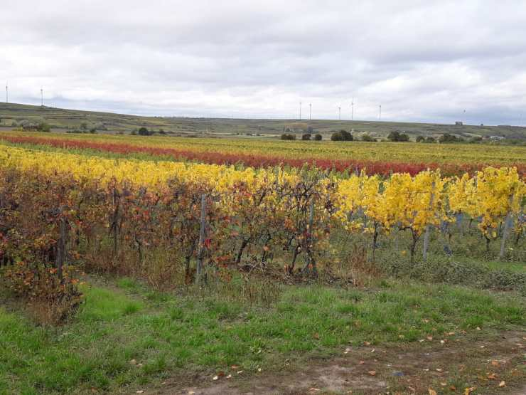 Autumn colours in a vineyard