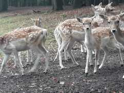 Deer in a park near Zeist