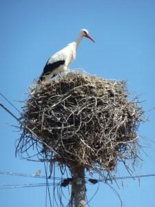A stork nesting