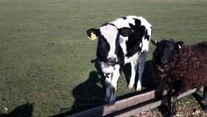 Calf and sheep at Grange Farm campsite IOW