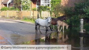 New Forest ponies drinking at a Ford