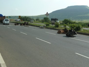 Mind those cows on the road