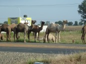 Camels along the road.