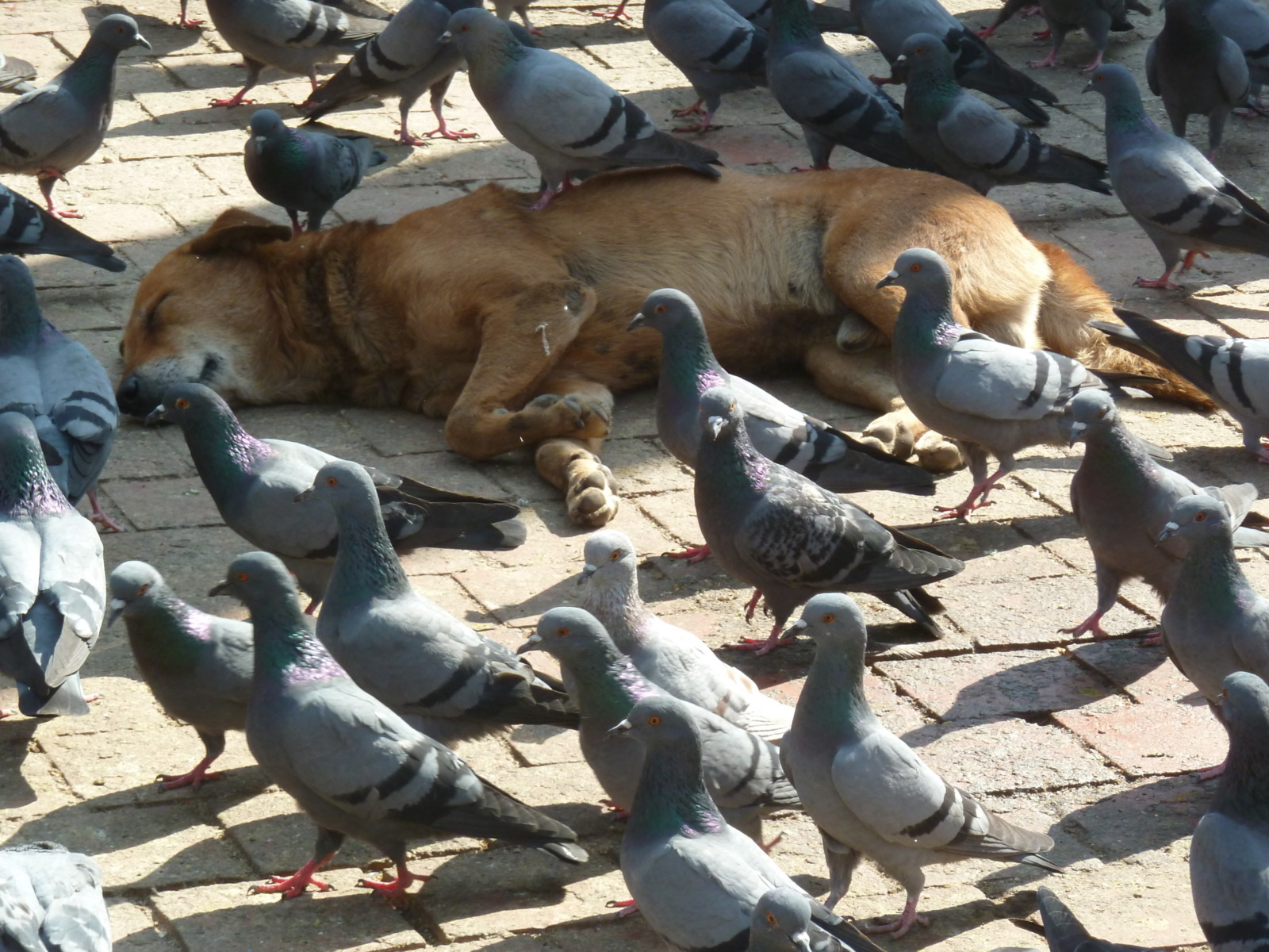 Sleeping dog in Durbar Square