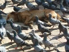 Sleeping dog in Durbar Square