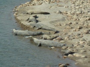 Crocodiles basking in the sun on the Babai river