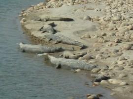 Crocodiles basking in the sun on the Babai river