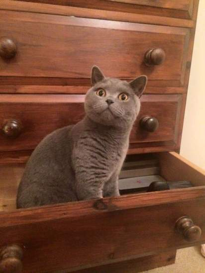 Toby the British Blue