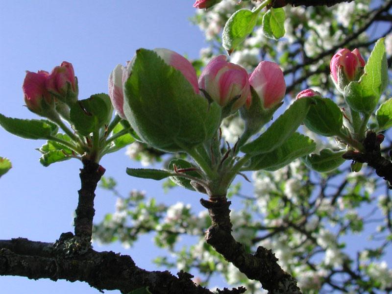 Apfelbllüte