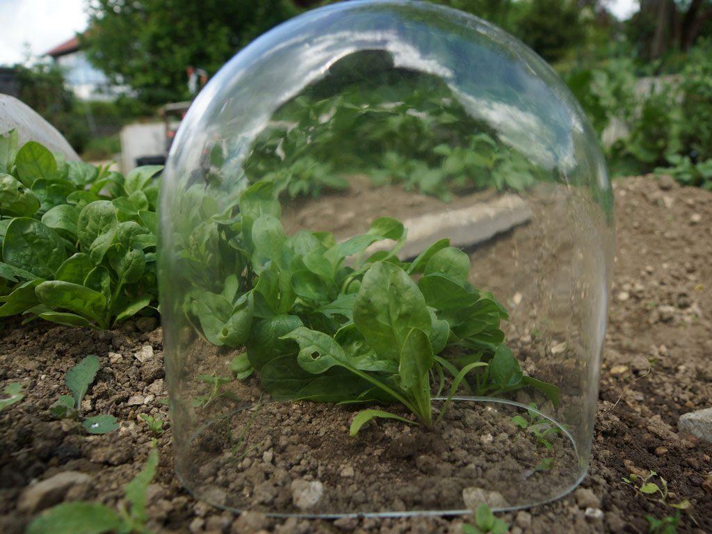 Glasglocke, empfindliche Pflanzen
