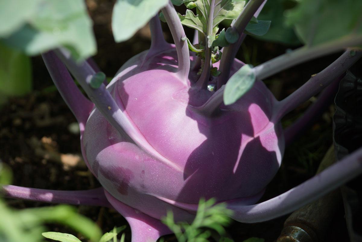 Kohlrabi Pflanze