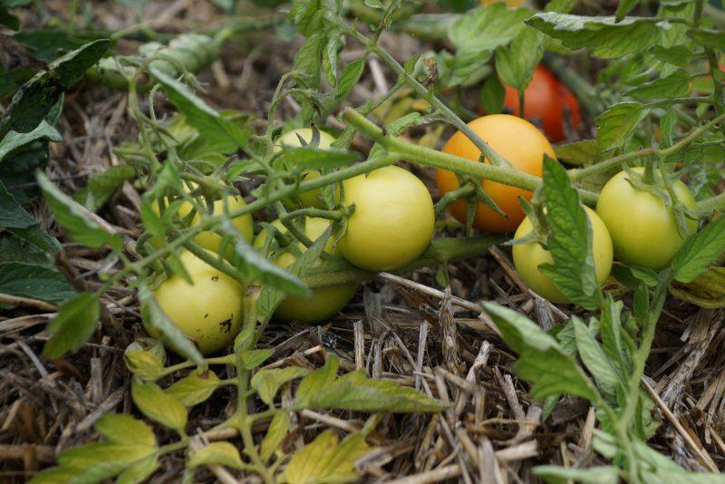 Tomaten auf Stroh