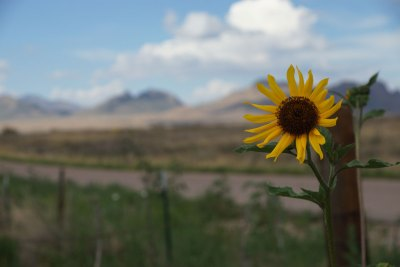 Wilde Sonnenblume, Arizona