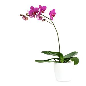 Ratgeber Orchideen